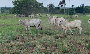 Boi gordo: testes pouco efetivos no mercado paulista (Crédito: Reprodução:)