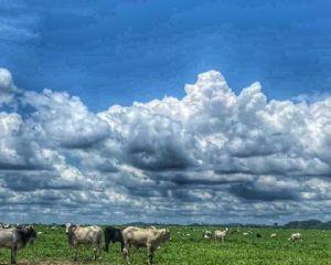 Preço da arroba do boi cai 4% no Vale do Araguaia (Crédito: Luhana Araujo)