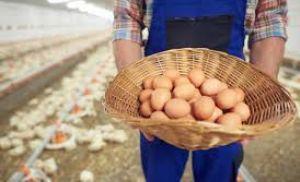 Ajuste entre oferta e demanda proporciona novo reajuste aos produtores de ovos (Crédito: Reprodução)