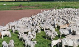 Brasil Continua Sem Exportar Carne Bovina Para A China Mas O Mercado Se Manteve Positivo Em Mato Grosso (Crédito: Senar)