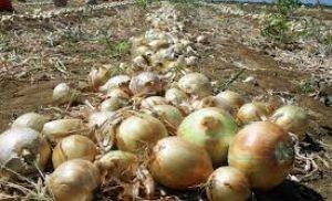 Cebola: Chuvas afetam colheita; preços sobem (Crédito: Reprodução)