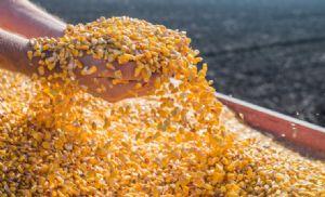Preços do milho devem subir ainda mais. (Crédito: Reprodução)