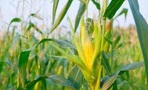Carta Grãos - Preço do milho no Brasil e nos Estados Unidos (Crédito: Reprodução)