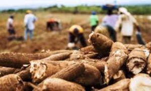 Mandioca: colheita se intensifica e preços recuam (Crédito: Reprodução)