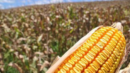 Quase 40% da próxima safra de milho do Norte Araguaia já está vendida (Crédito: Repórter Agro)