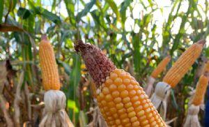 Milho: USDA reduz projeções para safra e estoque dos EUA em 20/21 (Crédito: Repórter Agro: Tiago Seiffert)