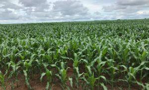 Plantio de verão avança e milho cai na B3 (Crédito: Reprodução)