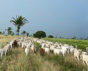 Mercado estabiliza após maior oferta de animais (Crédito: Repórter Agro: Tiago Seiffert)