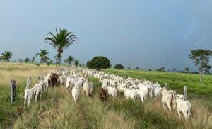 Governo do Tocantins deve vacinar 100 mil bovinos contra febre aftosa na Ilha do Bananal (Crédito: Repórter Agro: Tiago Seiffert)