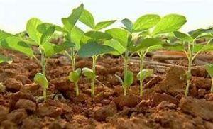 Doenças em cultura de soja é preocupante na região Norte Araguaia (Crédito: Repórter Agro)
