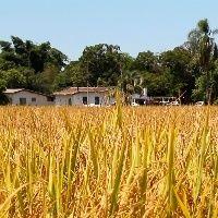 Nova praga do arroz já causou quebra de 40% da produção