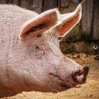 Demanda por carne suína deve se recuperar, diz Rabobank