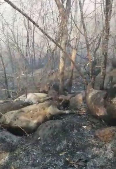 Gado morre queimado em fazenda no interior de Confresa