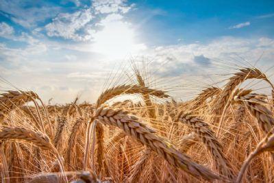 Colheita de trigo atinge 11% da área no Paraná; plantio de milho 20/21 segue adiantado