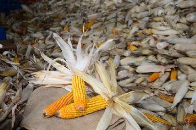 Presidente da FPA solicita prorrogação do plantio da segunda safra de milho