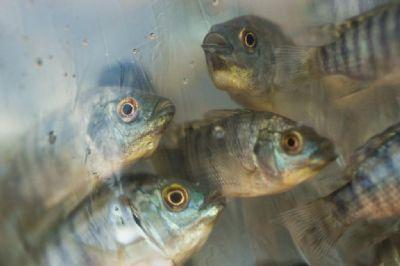 Incentivo que beneficia cadeia de peixes é aprovado em MT