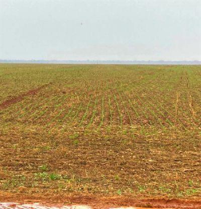 Precoce, o verde da soja já preenche o horizonte em Gaúcha do Norte