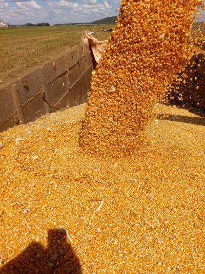 Safra 20/21 de milho em MT supera 85% de negociações
