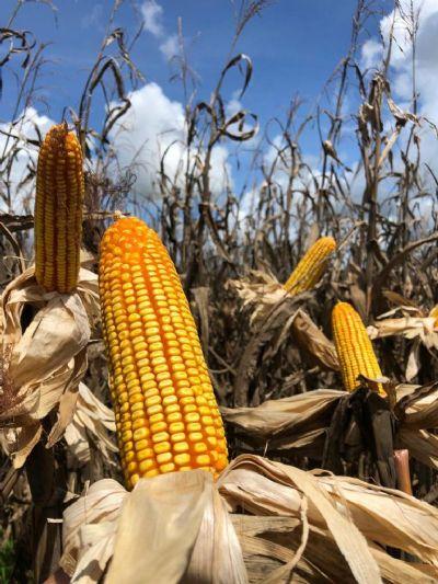 Com escassez, milho pode bater nos R$ 75/saca