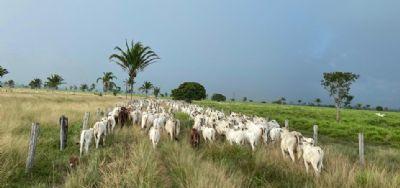 Recuo na referência do boi, vaca e novilha gordos em São Paulo