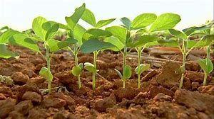 Doenças em cultura de soja é preocupante na região Norte Araguaia