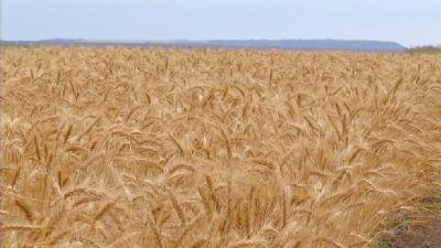 Trigo: Produtores do RS iniciam colheita de possível safra recorde
